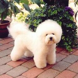 Picture Of Teacup Bichon Frise Puppy Png