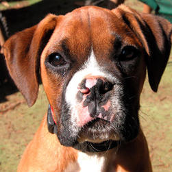 boxer puppy with three colors.jpg