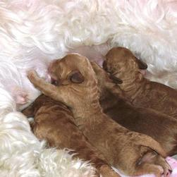Labradoodle puppies drinking milk