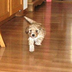 labradoodle pup playing
