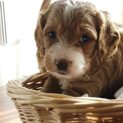 labradoodle puppy in backet