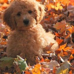 beautiful labradoodle puppy in nature