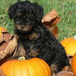 labradoodle puppy in black with tan stomach