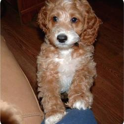 labradoodle puppy in tan and white