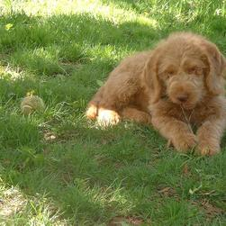 labradoodle dog on grass
