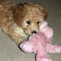 labradoodle puppy playing with its pink tiddy bear