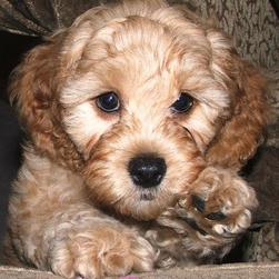 labradoodle puppy face close up