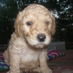 light tan labradoodle puppy