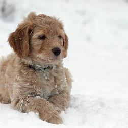 labradoodle pup on the snow