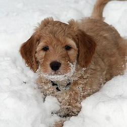 light brown labradoodle puppy playing in the snow