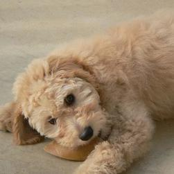 goldendoodle pup