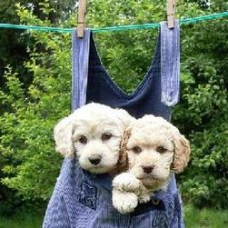 funny looking labradoodle pups