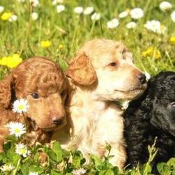 labradoodle pups in the garden