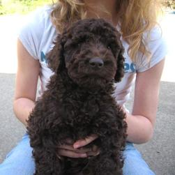 Labradoodle pup in brown