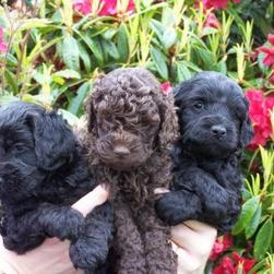 Labradoodle puppies in brown and black