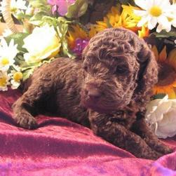 Labradoodle puppy in brown
