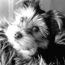 black and white picture of yorkie puppy.jpg