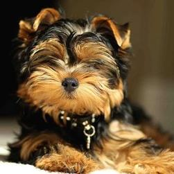 cool funny looking yorkshire terrier puppy.jpg