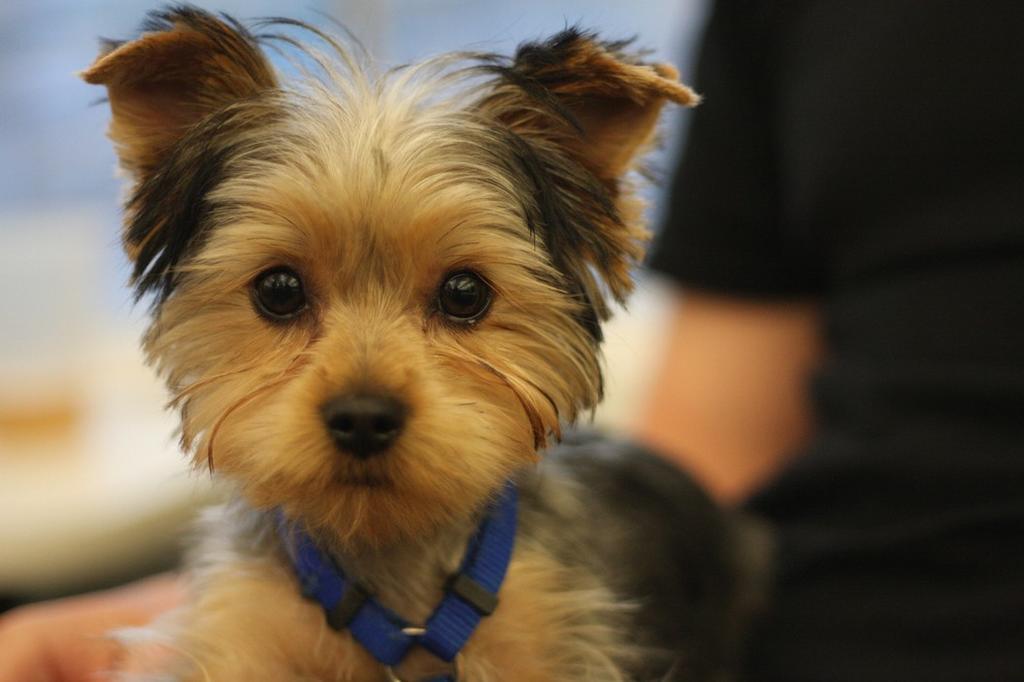 Yorkie Puppies Haircuts Newhairstylesformen2014 Com