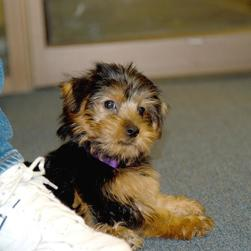 elegant looking yorkie puppy.jpg