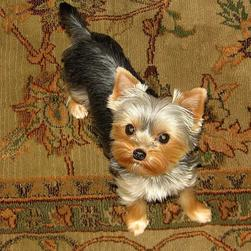 beautiful yorkie puppy looking up.jpg