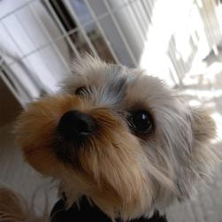 big close face up yorkie puppy with big eyes.jpg