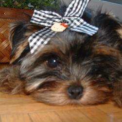 big face of yorkie puppy.jpg