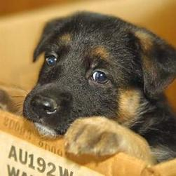 German Shepherd pups gallery