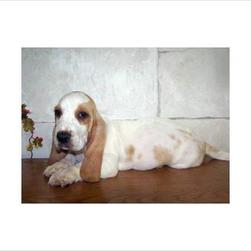 basset puppy in white with tan spots.jpg