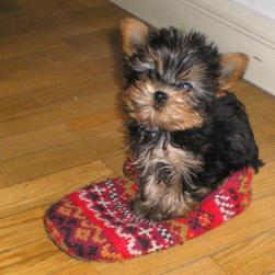 yorkshire terrier puppy cute.jpg