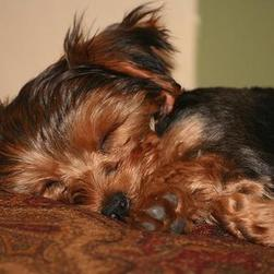 yorkshire terrier puppy in deep sleep.jpg