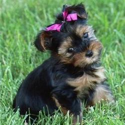 yorkshire terrier puppy on grass.jpg