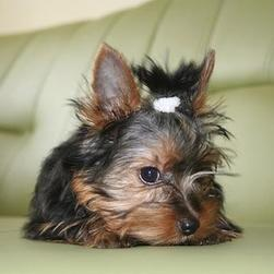 yorkshire terrier puppy on green coach.jpg