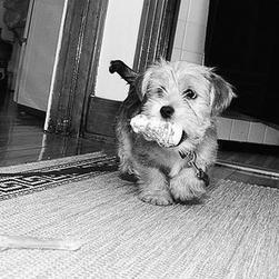 yorkshire terrier puppy with a toy in its mouth in black and white picture.jpg