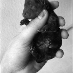 young yorkie puppy in black and white photo.jpg