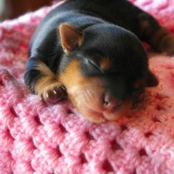 young yorkie puppy sleeping.jpg