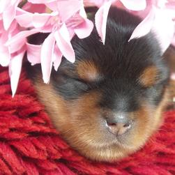 young yorkie puppy with pink flowers.jpg