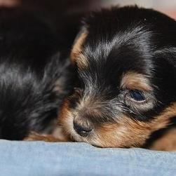 young yorkshire terrier puppy.jpg