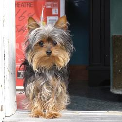 long hair yorkie puppy.jpg