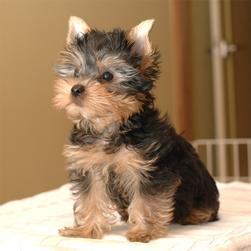 picture of yorkie puppy.jpg