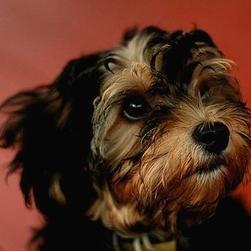 serious looking yorkshire terrier puppy.jpg