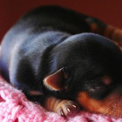 sleeping young yorkie puppy.jpg