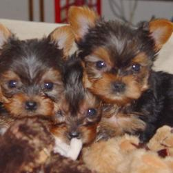 three yorkie puppies in grou[.jpg