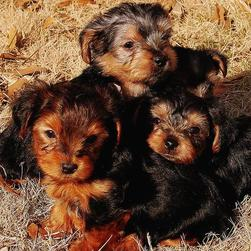 three yorkie puppies.jpg