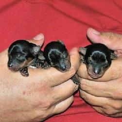 three young yorkie puppoes.jpg