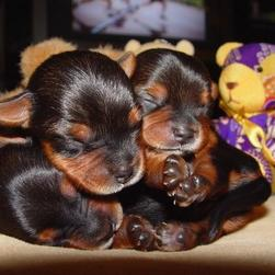 three young yorkie pups.jpg