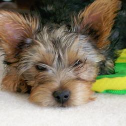 tired looking yorkie puppy.jpg