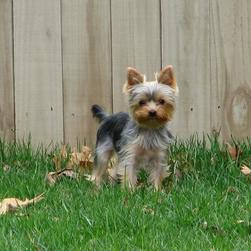 yorkie pup in the back yard.jpg