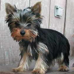 yorkie pup outdoor.jpg