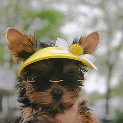 yorkie pup with yellow hat.jpg
